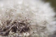 Dandelion Close Up. Beautiful Seeding Dandelion Flower With Shallow Focus in Macro Closeup. Royalty Free Stock Photo