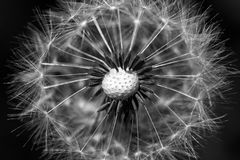 Dandelion seeds in black and white royalty free stock photos