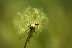Dandelion. Close-up of a clock dandelion against a clean green background Royalty Free Stock Photo