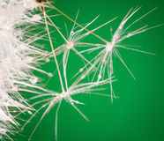 Dandelion close up with dew Stock Photo
