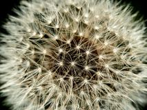 Dandelion close up, extreme macro, last dandelion royalty free stock image