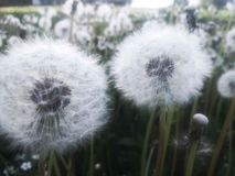 Field of dandelion royalty free stock images