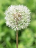 Dandelion close up Royalty Free Stock Photography