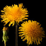 Dandelion close-up flower for big poster. Stock Images