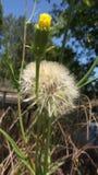 Dandelion. Close up of dandelion in a green field Stock Image