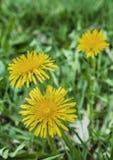 Dandelion. Close up image of dandelion flowers Stock Images