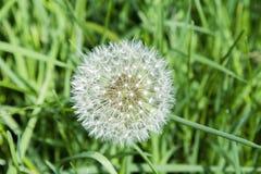 Dandelion. Close up image of dandelion seeds Stock Image
