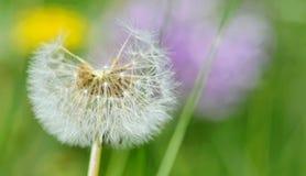 Dandelion close up isolated Royalty Free Stock Photo