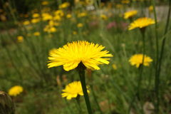 Dandelion close-up in long grass Stock Image