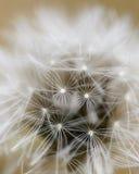 Dandelion close up Stock Images