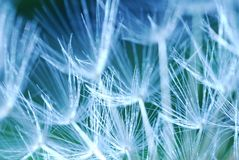 Dandelion. Close up, macro shot of a Dandelion Stock Photography