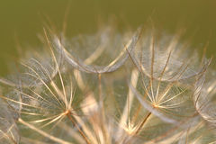 Dandelion close up Stock Images