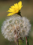 Dandelion close up nature Stock Photography