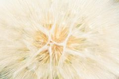 Dandelion close up over blue background Royalty Free Stock Image