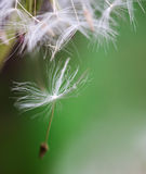 Dandelion close up over natural background Royalty Free Stock Images