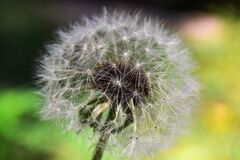 Dandelion Close Up Photography Royalty Free Stock Photo