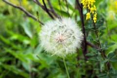 Dandelion Close Up Royalty Free Stock Photo