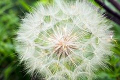 Dandelion Close Up Royalty Free Stock Image