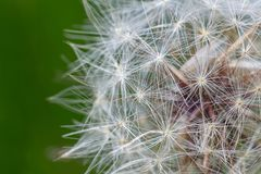 Dandelion. Close-up of dandelion seeds in frotn of a green background stock image