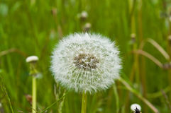 Dandelion close-up shot. White dandelion with seeds, macro shot stock photo