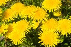 Dandelion close-up shot. Yellow dandelion flowers, close-up shot Royalty Free Stock Image