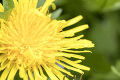 Dandelion Close Up. A close up of a dandelion sprinkled with the morning dew Stock Images