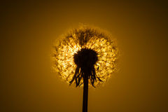 Dandelion close-up and sunset stock photo