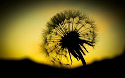 Dandelion. Close-up with sunset background Stock Photography