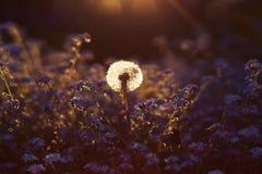 Dandelion close-up at sunset stock photo