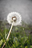 Dandelion. Close-up of dandelion surrounded by grass Stock Photos