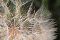 Dandelion, close up view Stock Images