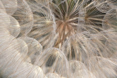 Dandelion, close up view Royalty Free Stock Photo