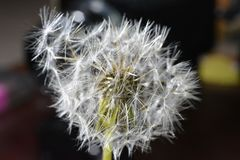 Dandelion closely. This is a macro photo of a dandelion stock image