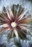Dandelion closeup. Closeup shot of a beautiful dandelion flower Royalty Free Stock Photos
