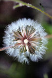 Dandelion closeup. Closeup on a dandelion flower against a blurry background Royalty Free Stock Images