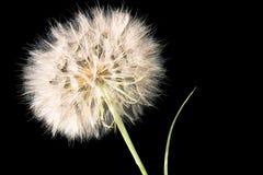 Dandelion closeup Stock Photography