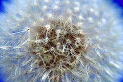 Dandelion closeup Royalty Free Stock Photos