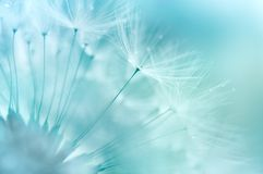 Dandelion Closeup. Dandelion abstract background. Shallow depth of field Stock Photo