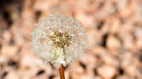 Dandelion closeup Royalty Free Stock Image
