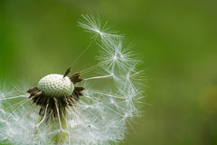 Dandelion, closeup  against  green background Royalty Free Stock Images