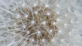 Dandelion closeup. as background. royalty free stock photography