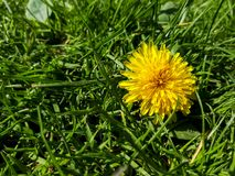 Dandelion. Closeup of a bright yellow blooming Sow Thistle (Sonchus oleraceus) on green grass background stock photography