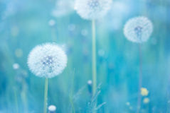 Dandelion Closeup Stock Image