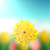 Dandelion closeup with a field in the background Royalty Free Stock Photos