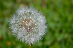Dandelion closeup with green natural background Stock Photos