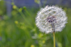 Dandelion. Closeup of dandelion on a green spring field Royalty Free Stock Images