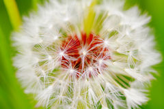 Dandelion closeup Stock Photography
