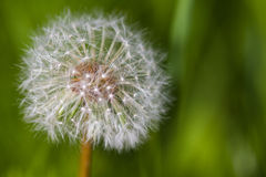 Dandelion closeup Royalty Free Stock Images