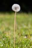 Dandelion closeup over dual toned background. Portrait of dandelion in the foreground on a blurred dual toned background in dark and bright green grass and copy Royalty Free Stock Photography