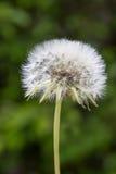 Dandelion closeup Stock Images